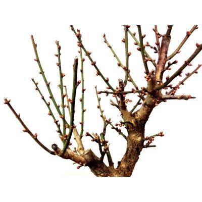 """Photo2: Prunus mume (Japanese Flowering Apricot) / Ume """"Osakazuki"""" / Middle size Bonsai"""