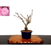 "Prunus lannesiana sekiyama ""Kanzan"" (Cherry Tree) / Sakura / Small size Bonsai"
