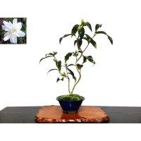 "Camellia japonica ""Shiro Kujaku"" (Japanese camellia) / Tsubaki / Middle size Bonsai"
