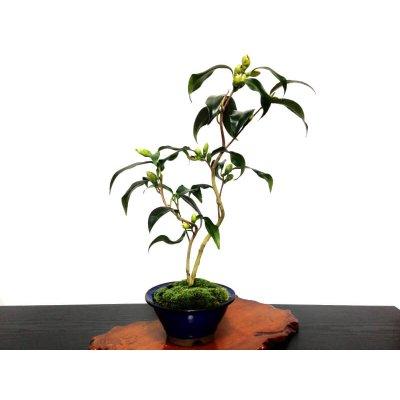 "Photo2: Camellia japonica ""Shiro Kujaku"" (Japanese camellia) / Tsubaki / Middle size Bonsai"