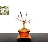 Prunus pseudo-cerasus (Cherry) / Sakuranbo / Small size Bonsai