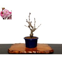"Prunus lannesiana ""Asahiyama"" (Cherry Tree) / Sakura / Small size Bonsai"