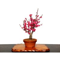 "Prunus mume (Japanese Flowering Apricot) / Ume ""Osakazuki"" / Middle size Bonsai"