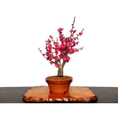 """Photo1: Prunus mume (Japanese Flowering Apricot) / Ume """"Osakazuki"""" / Middle size Bonsai"""