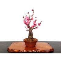 "Prunus mume (Japanese Flowering Apricot) / Ume ""Shinonome"" / Middle size Bonsai"