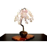 "Prunus incisa ""Fujizakura"" (Cherry Tree) / Sakura / Middle size Bonsai"