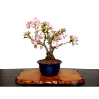 "Prunus lannesiana ""Asahiyama"" (Cherry Tree) / Sakura / Middle size Bonsai"