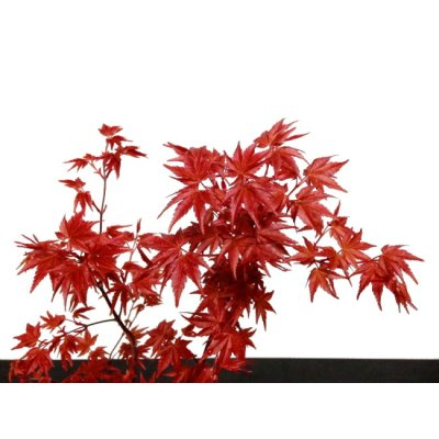 Photo2: Acer palmatum (Japanese Maple) / Deshojo Momiji / Middle size Bonsai