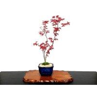 Acer palmatum (Japanese Maple) / Deshojo Momiji / Middle size Bonsai