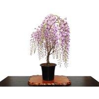 Wisteria floribunda (Japanese Wisteria) / Fuji / Middle size Bonsai