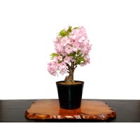 """Prunus lannesiana """"Asahiyama"""" (Cherry Tree) / Sakura / Middle size Bonsai"""