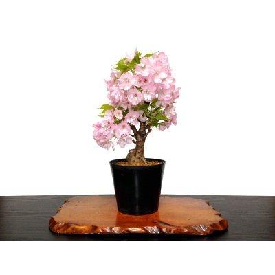 """Photo1: Prunus lannesiana """"Asahiyama"""" (Cherry Tree) / Sakura / Middle size Bonsai"""