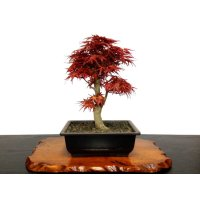 Acer palmatum (Japanese Maple) / Seigen Momiji / Middle size Bonsai