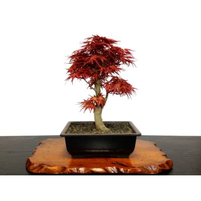 Photo1: Acer palmatum (Japanese Maple) / Seigen Momiji / Middle size Bonsai