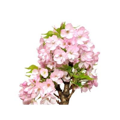 """Photo2: Prunus lannesiana """"Asahiyama"""" (Cherry Tree) / Sakura / Middle size Bonsai"""