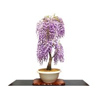 Wisteria floribunda (Japanese Wisteria) / Fuji / Large size Bonsai
