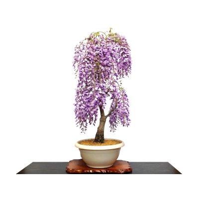 Photo1: Wisteria floribunda (Japanese Wisteria) / Fuji / Large size Bonsai