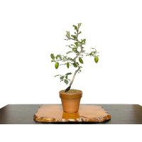 "Diospyros rhombifolia ""Benifude"", Ornamental Persimmons"