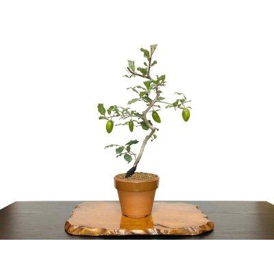 "Photo1: Diospyros rhombifolia ""Benifude"", Ornamental Persimmons"