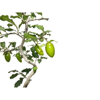 "Photo2: Diospyros rhombifolia ""Benifude"", Ornamental Persimmons"