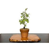 "Diospyros rhombifolia ""Yokihi"", Ornamental Persimmons"