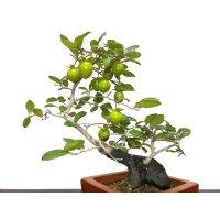 "Diospyros rhombifolia ""Higyoku"", Ornamental Persimmons"