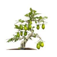 "Diospyros rhombifolia ""Kibyoutan"", Ornamental Persimmons"