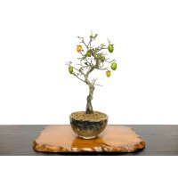Diospyros rhombifolia, Ornamental Persimmons / Small size Bonsai