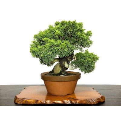 Photo1: Juniperus chinensis, Japanese Juniper / Shimpaku / Middle size Bonsai