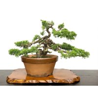 Juniperus chinensis, Japanese Juniper / Shimpaku / Middle size Bonsai