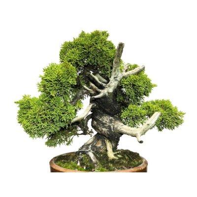 Photo2: Juniperus chinensis, Japanese Juniper / Shimpaku / Middle size Bonsai