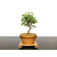 Acer buergerianum, Trident Maple / Kaede / Small size Bonsai