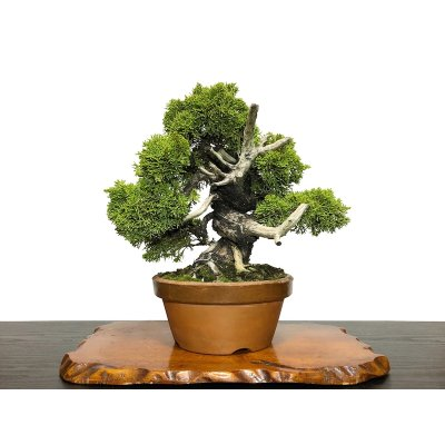 Photo1: Juniperus chinensis, Japanese Juniper / Shimpaku / Middle size Bonsai