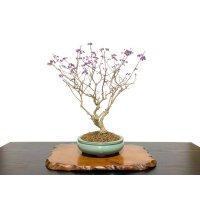 Callicarpa japonica (Japanese Beautyberry) / Murasaki Shikibu / Middle size Bonsai