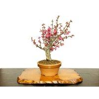 "Prunus mume / Japanese Apricot, Ume ""Osakazuki"" / Middle size Bonsai"