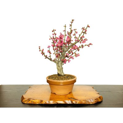 "Photo1: Prunus mume / Japanese Apricot, Ume ""Osakazuki"" / Middle size Bonsai"