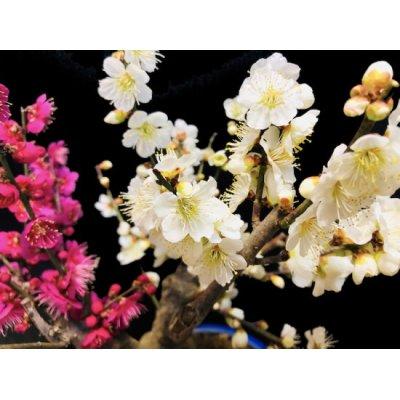 "Photo2: Prunus mume / Japanese Apricot, Ume ""Osakazuki and Toji"" / Middle size Bonsai"