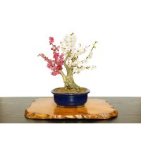 "Prunus mume / Japanese Apricot, Ume ""Osakazuki and Toji"" / Middle size Bonsai"