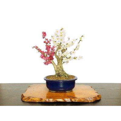 "Photo1: Prunus mume / Japanese Apricot, Ume ""Osakazuki and Toji"" / Middle size Bonsai"