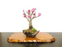 "Prunus mume / Japanese Apricot, Ume ""Kagoshima Kobai"" / Small size Bonsai"