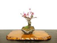 "Prunus mume / Japanese Apricot, Ume ""Yae Seiou"" / Small size Bonsai"