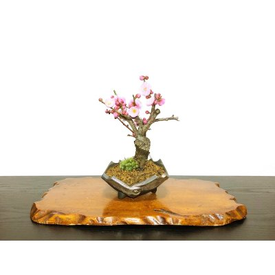 "Photo1: Prunus mume / Japanese Apricot, Ume ""Yae Seiou"" / Small size Bonsai"