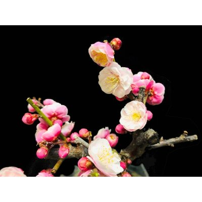 "Photo2: Prunus mume / Japanese Apricot, Ume ""Yae Seiou"" / Small size Bonsai"