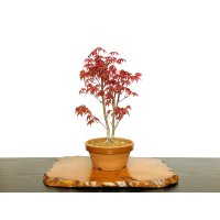 Acer palmatum (Japanese Maple) / Deshojo Momiji / Middle size Bonsai