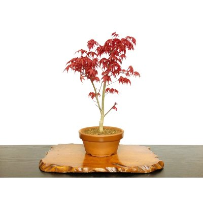 Photo1: Acer palmatum (Japanese Maple) / Deshojo Momiji / Middle size Bonsai