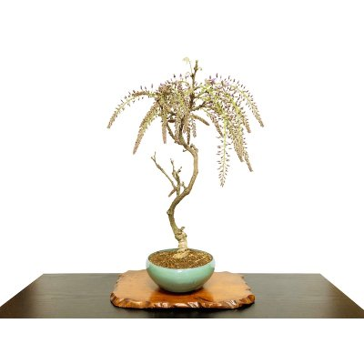 Photo1: Wisteria floribunda (Japanese Wisteria) / Fuji / Middle size Bonsai