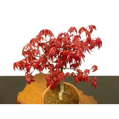 Photo2: Acer palmatum (Japanese Maple) / Deshojo Momiji / Middle size Bonsai