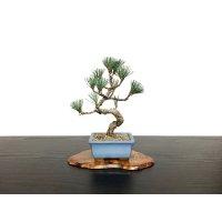 Pinus parviflora / White Pine, Goyomatsu / Small size Bonsai