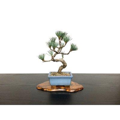Photo1: Pinus parviflora / White Pine, Goyomatsu / Small size Bonsai