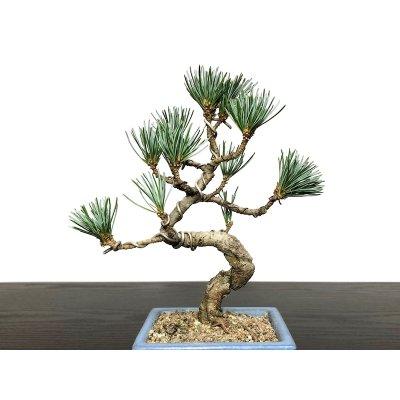 Photo2: Pinus parviflora / White Pine, Goyomatsu / Small size Bonsai